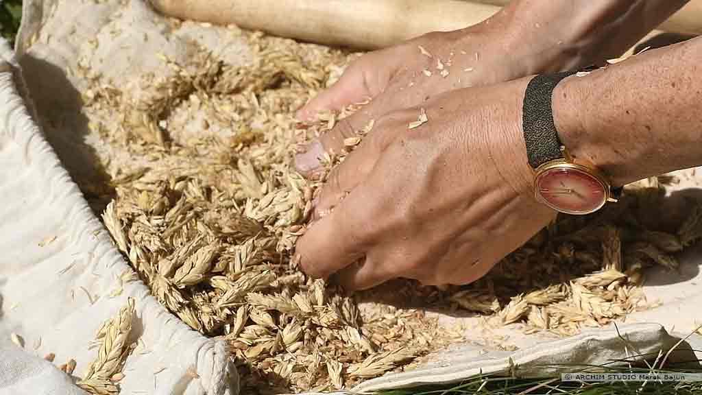 Własna mąka żytnia- ręczne międlenie kłosów