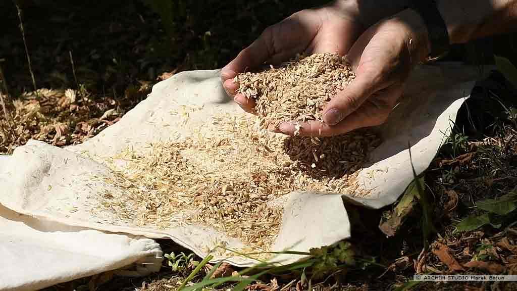Własna mąka żytnia- wianie ziarna