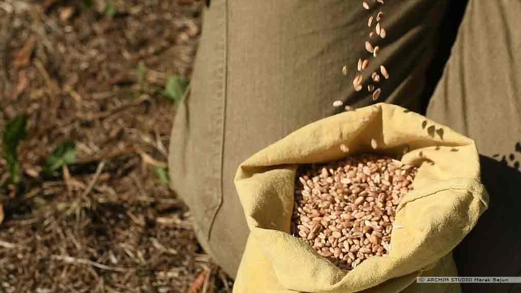 Własna mąka żytnia- ziarno żyta