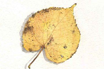 Akwarela liść lipy